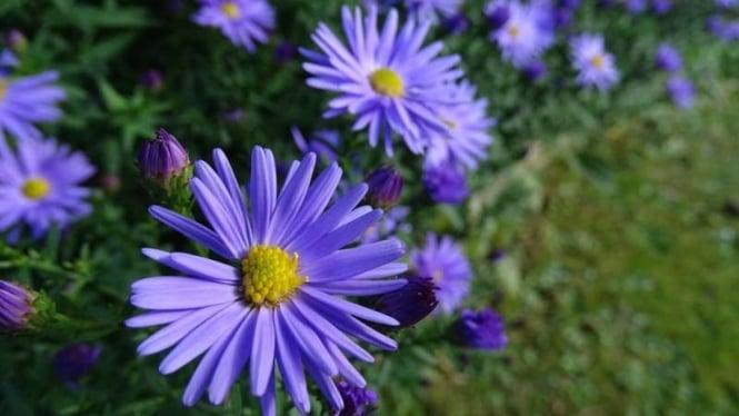 Manfaat Bunga Aster Untuk Kesehatan Kulit Kepala