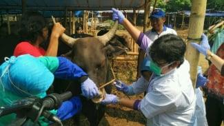 Ilustrasi pemeriksaan hewan kurban