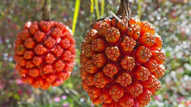 Hala Tree Fruit.
