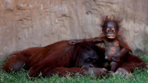 https://thumb.viva.co.id/media/frontend/thumbs3/2016/09/13/57d7865d253a8-bayi-orangutan-kalimantan-di-spanyol_213_120.JPG