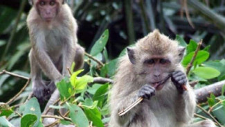 Dua ekor monyet.