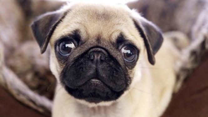 Anjing Pug.