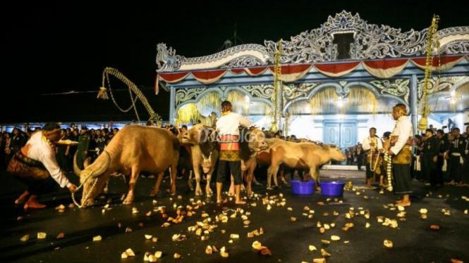 Kawanan Kebo Bule keramat keturunan Kyai Slamet saat tiba di depan Kori Kemandungan, Keraton Kasunanan Surakarta.