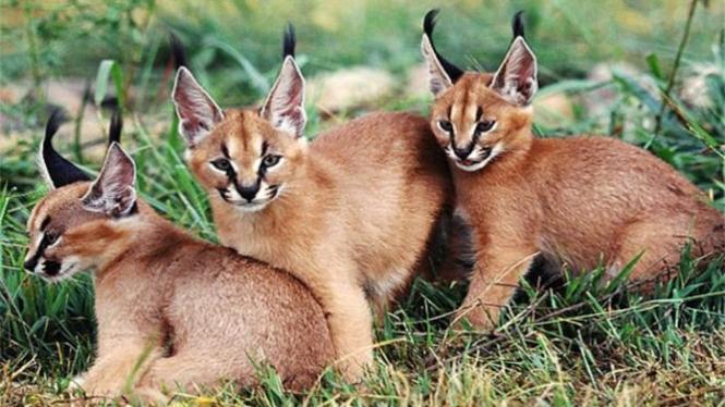 Kucing Caracals.