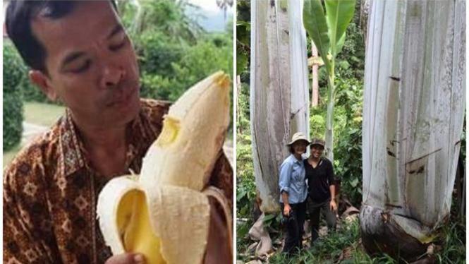Buah pisang raksasa.