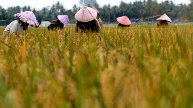 Para petani memotong padi saat panen raya serentak beberapa waktu silam di Buloh Beureughang, Kuta Makmur.