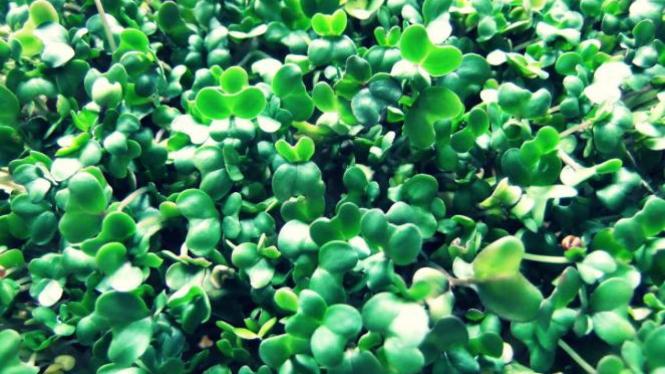 Sayuran Microgreens.