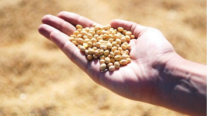 Ilustrasi kacang kedelai