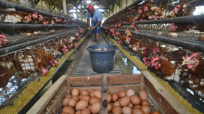 Harga Telur Ayam Anjlok