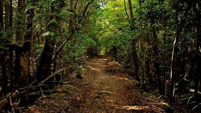 Hutan Aokigahara di Jepang.