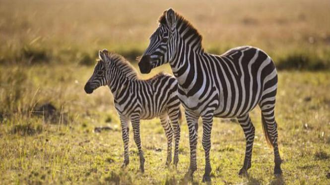 Kuda zebra.