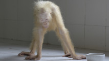 https://thumb.viva.co.id/media/frontend/thumbs3/2017/05/10/59132543f3120-penampakan-orangutan-albino_213_120.jpg
