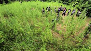 Aparat Kepolisian Polres Aceh Utara mencabut batang tanaman ganja saat operasi ladang ganja di Desa Cot Rawa Tu, Kecamatan Sawang, Aceh Utara, Aceh, Rabu, 10 Mei 2017.