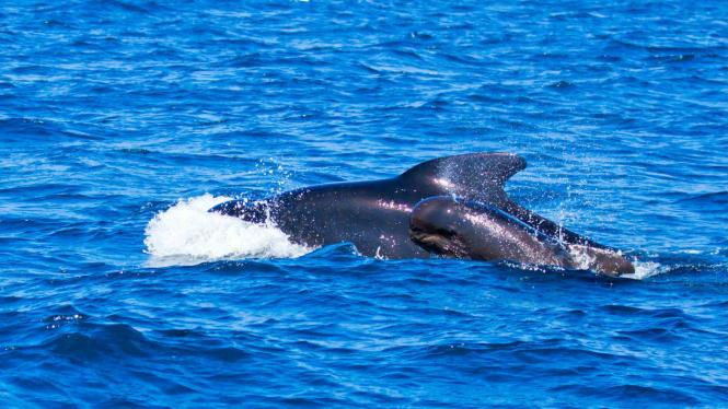Ilustrasi ikan paus