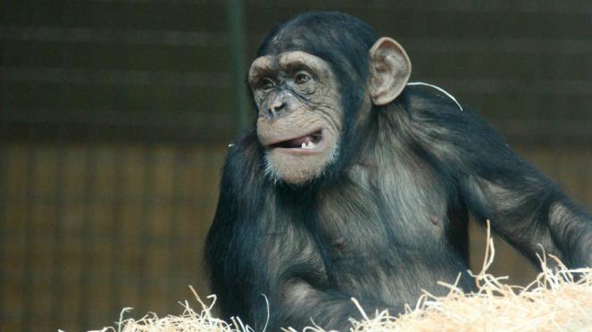 Ilustrasi simpanse