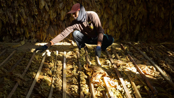 Panen tembakau petani Indonesia.