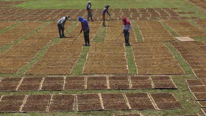 Panen tembakau petani Indonesia
