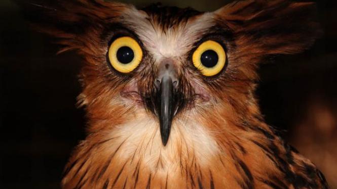 Unduh 101+ Foto Gambar Burung Hantu Marah  Terbaru Free