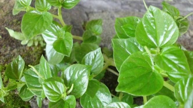 obat herbal sembuhkan asam urat