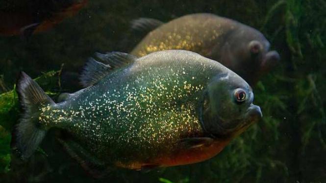 Ikan piranha.