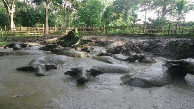 Kerbau berkubang di lumpur.
