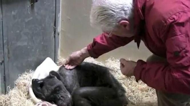 Simpanse sekarat dan sahabatnya.