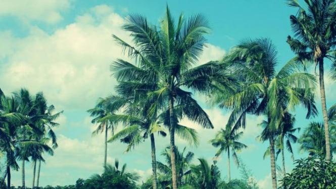 Pohon kelapa.