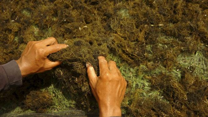 Produksi Rumput Laut Indonesia. salah satu yang bisa jadi andalan ekspor/Ilustrasi.