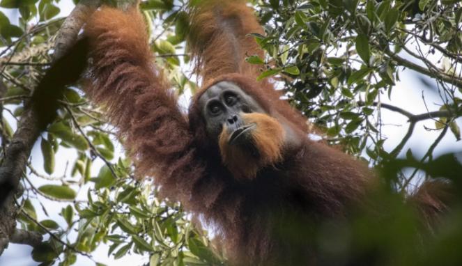 Spesies baru orangutan Pongo tapanuliensis