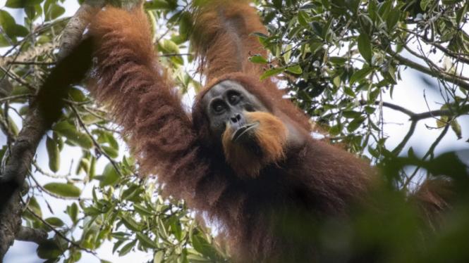 Spesies baru Orangutan Pongo Tapanuliensis.