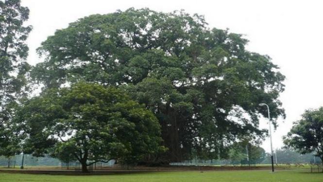 Pohon beringin.
