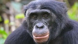 Simpanse jenis bonobo.