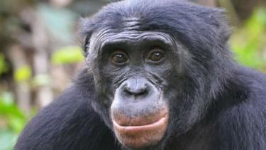 Simpanse jenis bonobo