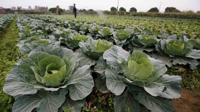 Ladang sayur-sayuran kubis