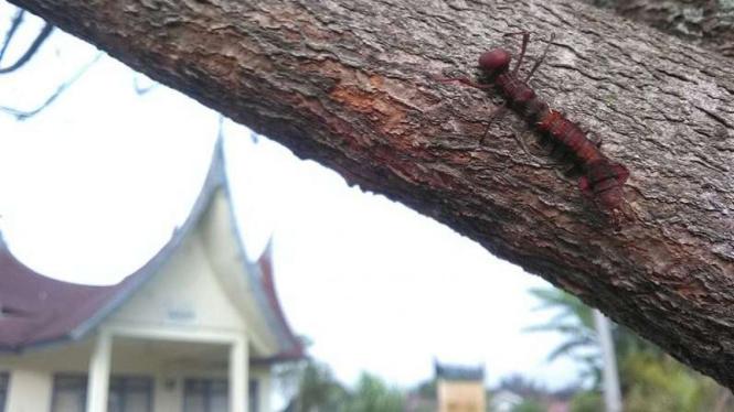 Ulat aneh yang ada di salah satu pohon di tepi jalan di Kabupaten Agam.