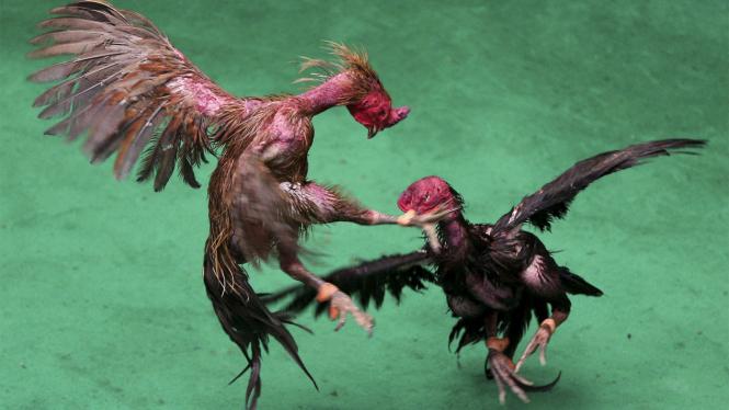 Ilustrasi: Sabung ayam di kejuaran internasional.