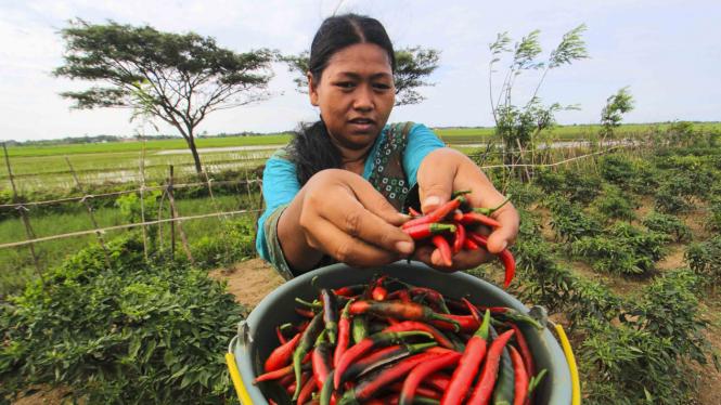 Panen cabai merah di Indramayu, Jawa Barat