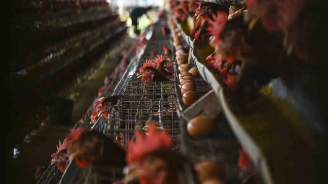 Peternakan ayam petelur kawasan Cilodong, Depok, Jawa Barat