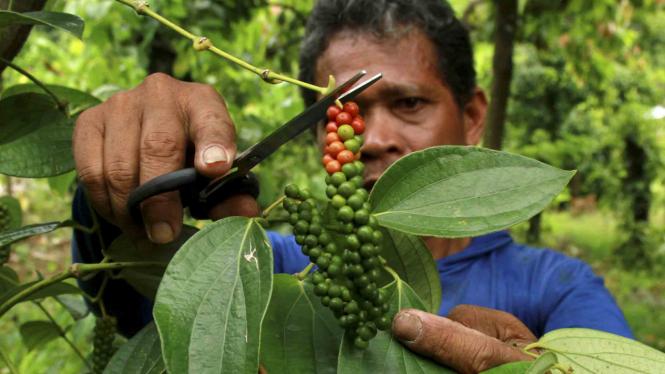 Petani memetik biji lada menggunakan gunting di Desa Batu Pannu, Mamuju