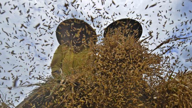 Petani merontokkan padi hasil panen