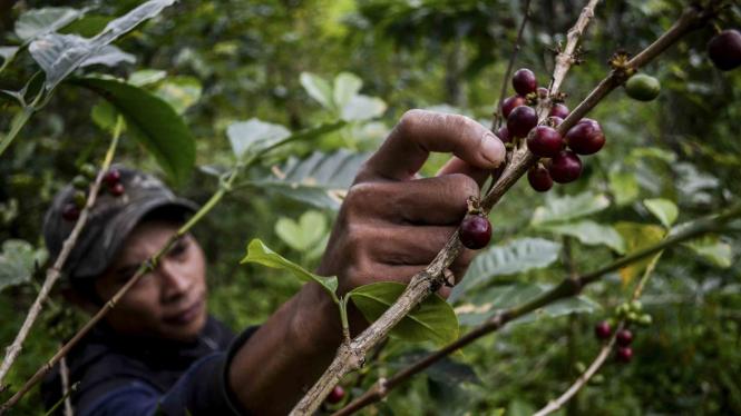 Petani memetik buah kopi di kebun kopi lahan Perhutani.