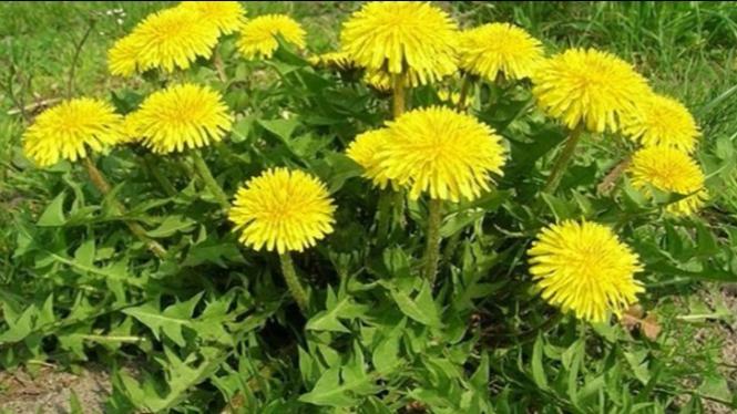 Tanaman Jombang, Cara Alami Sembuhkan Abses Payudara