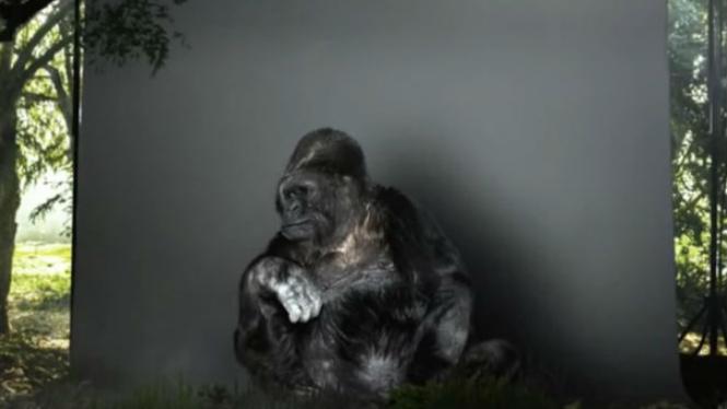Gorila bernama Koko.