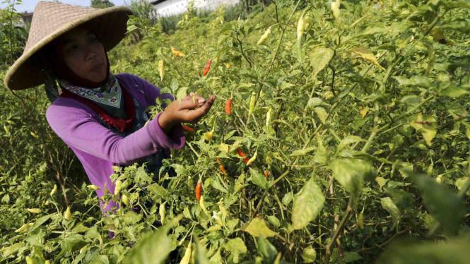 Buruh tani memanen cabai rawit di area persawahan di Kediri