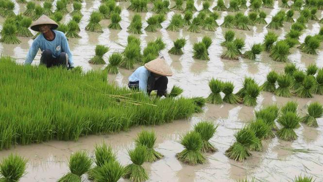 Petani mencabutil bibit padi di area persawahan Desa Kalidoro, Pati