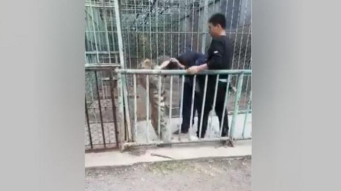 Harimau mengamuk dan serang petugas.