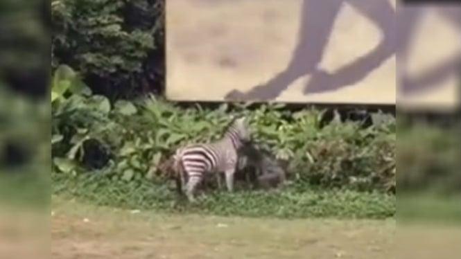 Kuda Zebra mengamuk.
