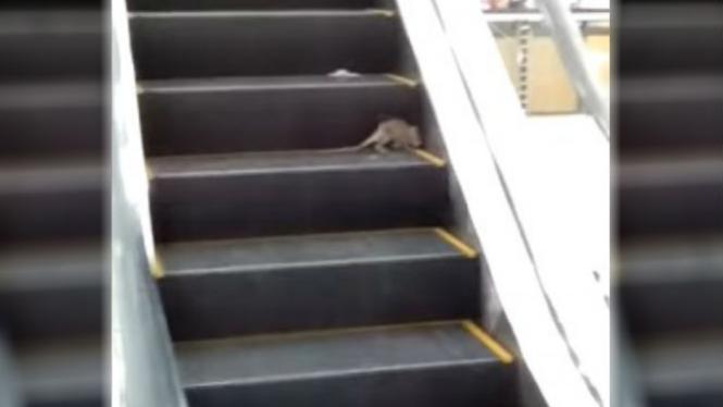 Tikus bermain di eskalator.
