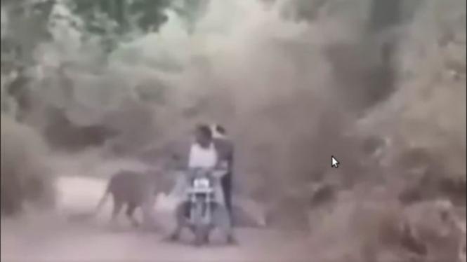 Pengendara motor bertemu harimau liar.