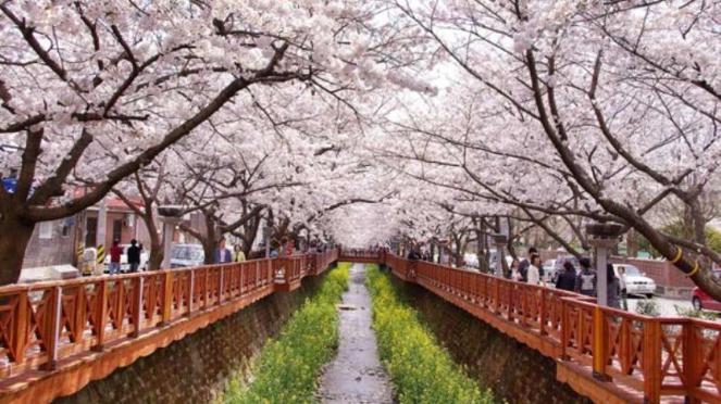 Bunga sakura di Korea Selatan